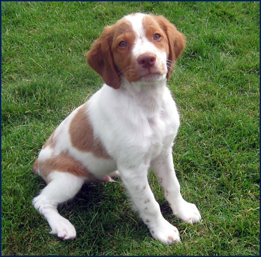 Brittany Spaniel Breeder-Smith Valley Gun Dogs